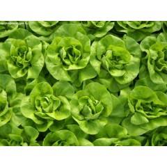 Fejes saláta öntözése